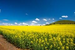 油菜的领域在澳大利亚 库存图片