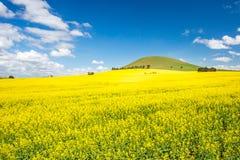 油菜的领域在澳大利亚 免版税库存照片
