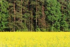 油菜的黄色领域 库存照片