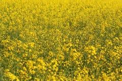 油菜的黄色领域 免版税库存图片