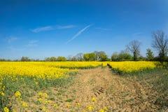 油菜籽一朵黄色花,当procecesed轮到燃料里 免版税库存图片