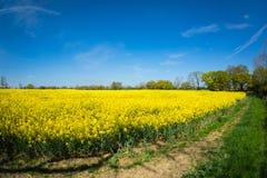 油菜籽一朵黄色花,当procecesed轮到燃料里 库存照片