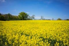 油菜籽一朵黄色花,当procecesed轮到燃料里 免版税图库摄影