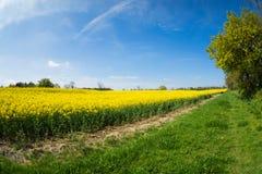 油菜籽一朵黄色花,当procecesed轮到燃料里 图库摄影