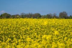 油菜籽一朵黄色花,当procecesed轮到燃料里 免版税库存照片
