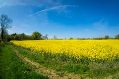 油菜籽一朵黄色花,当procecesed轮到燃料里 库存图片