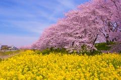 油菜籽和樱花 免版税库存照片