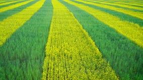 油菜籽和麦子的领域种植了与斑马镶边了黄色和绿色天线 影视素材