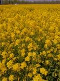 油菜籽在南开大学,天津,中国 免版税库存图片