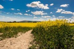 油菜籽在滚动的苏克塞斯乡下 库存照片