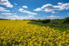 油菜籽在滚动的苏克塞斯乡下 免版税图库摄影