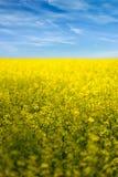 油菜籽在绽放的领域花 免版税库存照片