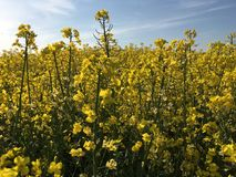 油菜籽场标志Tey,艾塞克斯,英国 图库摄影