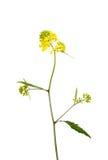 油菜籽植物 免版税图库摄影