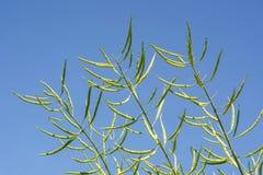 油菜籽用浓长的荚锤击了在蓝天背景的豆 库存照片