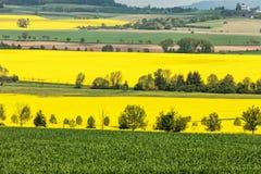 油菜籽的五颜六色的领域 在绽放的黄色领域强奸与蓝天和白色云彩 免版税图库摄影
