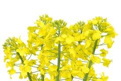 油菜籽的花 免版税库存图片