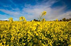 油菜籽的领域与美丽的云彩的 免版税库存照片