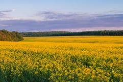 油菜籽的领域反对天空的与云彩 库存照片