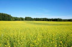 油菜籽的领域在夏天 库存照片