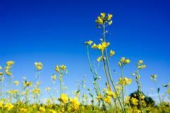 油菜籽的领域在夏天 免版税库存图片