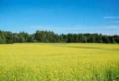 油菜籽的领域在夏天 库存图片