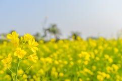 油菜籽花关闭在被弄脏的背景和它华美的瓣从强奸花园的一个晴朗的领域夺取了 库存图片