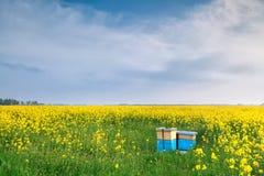 油菜籽花和蜂箱在蓝天 库存照片