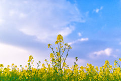油菜籽花和领域与蓝天 库存照片