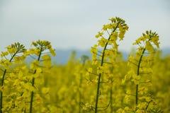 油菜籽花在卡塔龙尼亚 库存照片