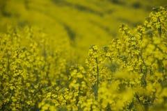 油菜籽花在卡塔龙尼亚 免版税图库摄影