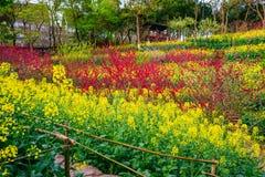 油菜籽花田在春天 免版税库存照片