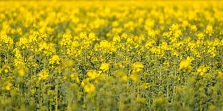 油菜籽花的领域 免版税库存照片