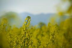 油菜籽花草甸在卡塔龙尼亚 库存照片