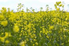 油菜籽芸苔napus含油种子强奸 库存照片