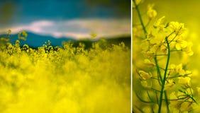 油菜籽领域在一个夏天晚上 免版税库存图片