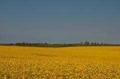 油菜籽领域在丹麦 图库摄影