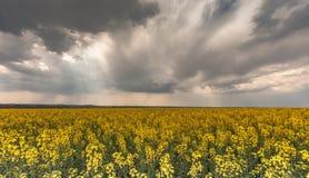 油菜籽领域在风雨如磐的天空下 免版税库存照片