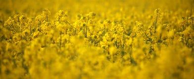 油菜籽领域油菜头状花序在德国 库存照片