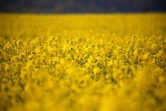 油菜籽领域油菜头状花序在德国 图库摄影