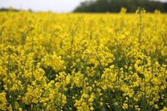 油菜籽领域油菜头状花序在德国 免版税库存图片