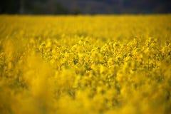油菜籽领域油菜头状花序在德国 免版税库存照片