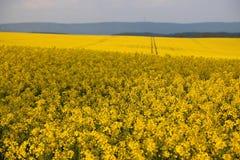 油菜籽领域油菜头状花序在德国 库存图片