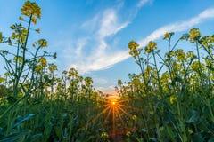 从油菜籽领域的低看法与在日落的黄色绽放 免版税库存图片