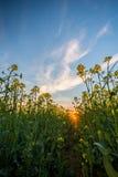 从油菜籽领域的低看法在日落 免版税库存照片