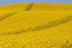 油菜籽领域路 免版税图库摄影