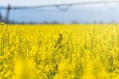 油菜籽领域,在绽放的黄色油强奸种子 绿化能源 免版税库存照片
