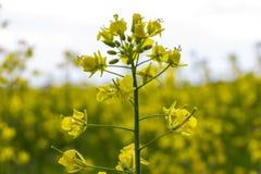 油菜籽领域,开花的油菜开花特写镜头 明亮的黄色菜子油 免版税图库摄影