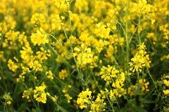 油菜籽领域,开花的油菜花紧密  在领域的强奸在夏天 明亮的黄色菜子油 r ? 免版税库存照片