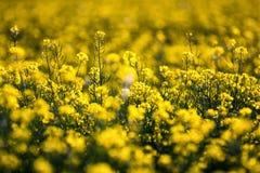 油菜籽领域,开花的油菜花紧密  在fi的强奸 库存图片